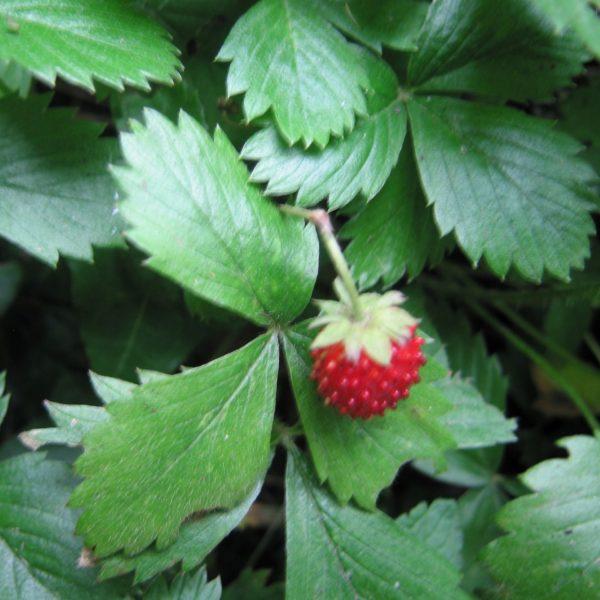 A;pine strawberry