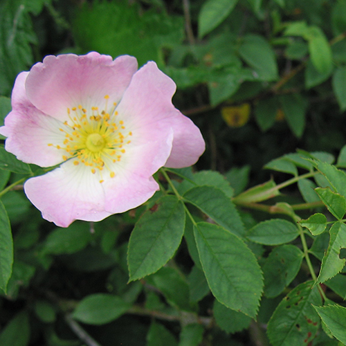 dog-rose-2