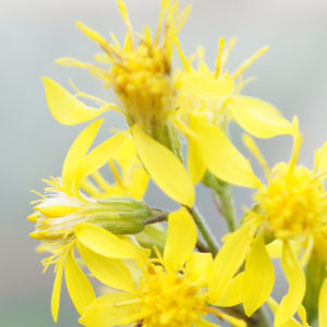 golden-rod-(2)