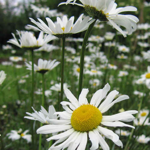 ox-eye-daisy