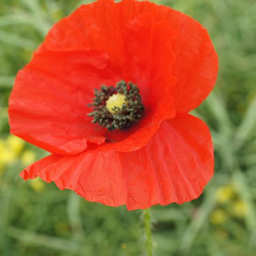 common-poppy