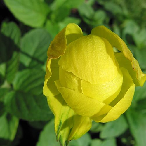 globe-flower