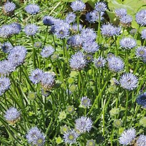 sheeps bit scabious